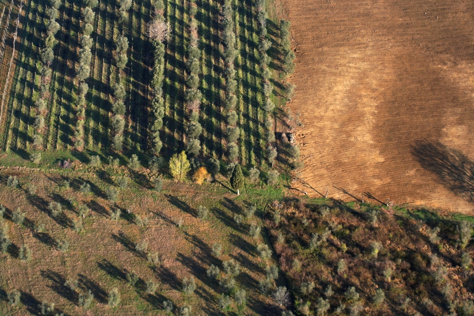 Olive grove and vines