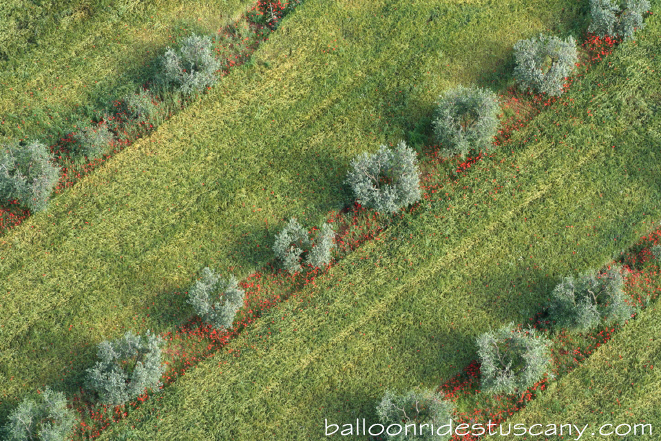 poppy's and olive trees from the balloon