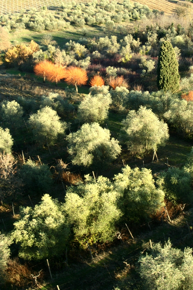 Olive trees and willows